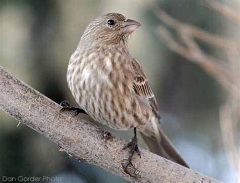backyard birds utah house finch