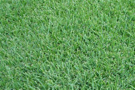 sod grass maintenance archives zoysia best fertilizer for