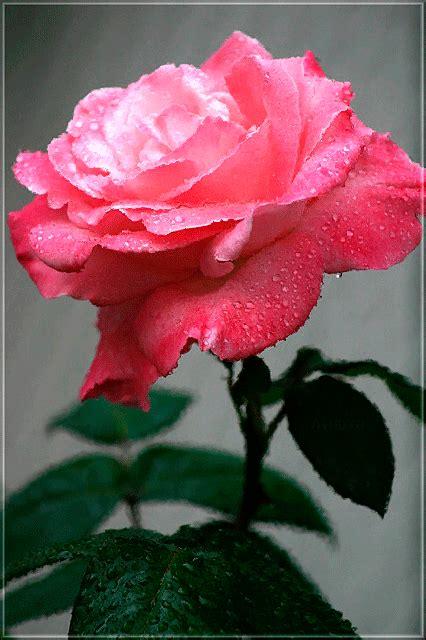 imagenes de rosas blancas y rojas animadas hermosas flores y rosas rojas y blancas amarillas gifs