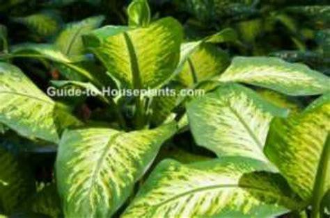 jual tanaman hias daun bahagia dieffenbachia indoor