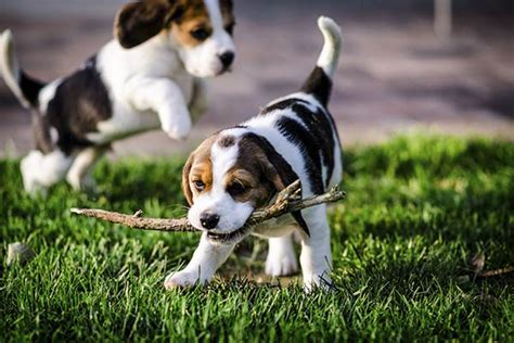 puppy and socialization puppy socialization why when and how to do it right american kennel club