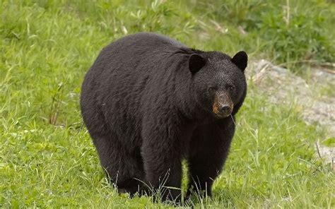 imagenes oso negro que come el oso negro donde viven como nacen