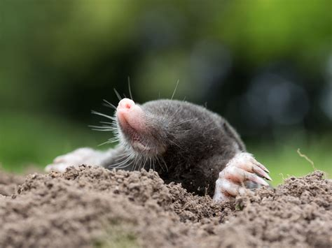 how to get rid of moles in the backyard how can i get rid of moles in my garden the garden