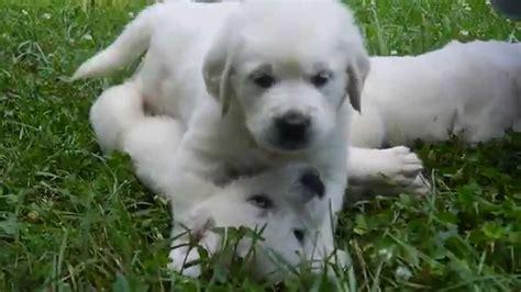 european white golden retrievers white golden retrievers puppies www pixshark images galleries with a bite