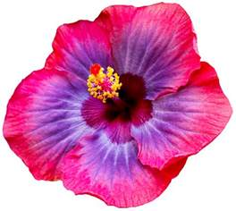 Transparent Flower Images - transparent flowers