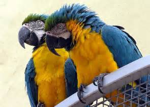 Pair of hyacinth macaw parrots for a loving home pet adoption pets