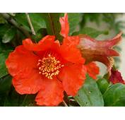 Pomegranate Blossom Libya National Flower