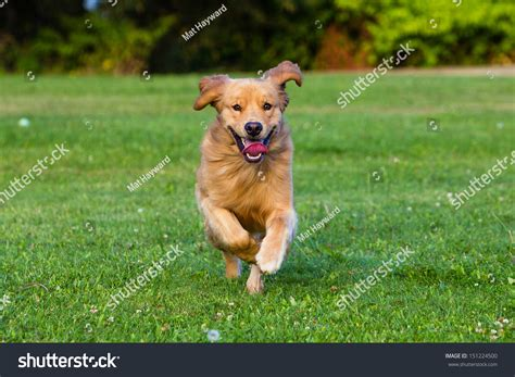 golden fast happy healthy golden retriever running fast stock photo