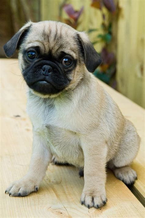 stressed pug picture of pug breed that will help get rid of your stress animals