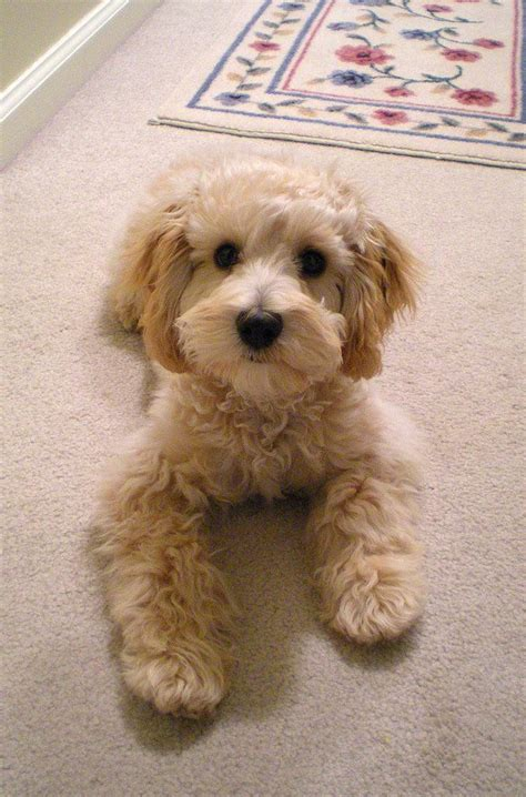 poodle mix dog hair cut 37 best oodle spoodle cockerpoo cockapoo images on