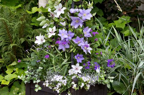 3 easy ways to plant clematis with pictures wikihow four clematis container ideas gardenersworld com