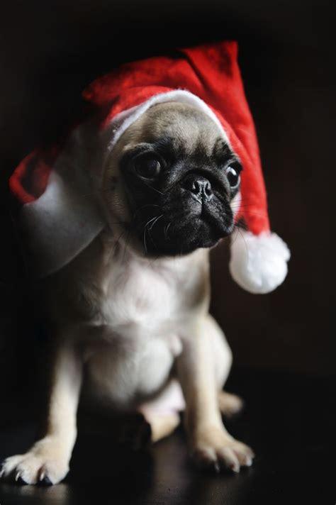 santa pug pug photo by lu donfer pugs