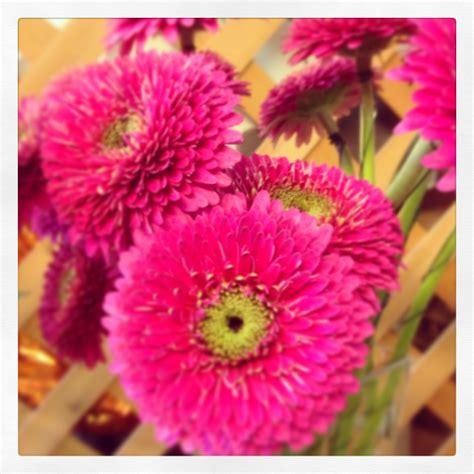 linguaggio dei fiori gerbera il fiore di oggi la gerbera