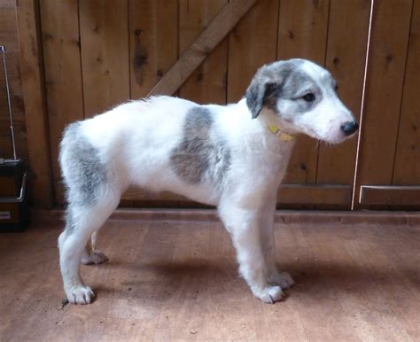 borzoi puppies for sale borzoi puppy monmouth monmouthshire pets4homes