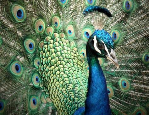 foto di bellissime 30 bellissime immagini di stupendi pavoni collezione di