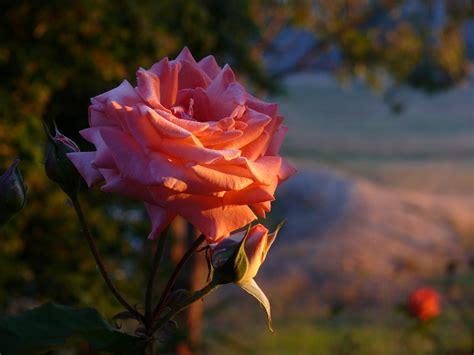 gam bar alam mekar embun menanam matahari terbit