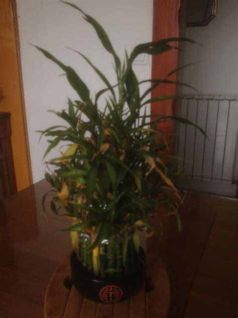 forums de jardinage afficher le sujet bambou d