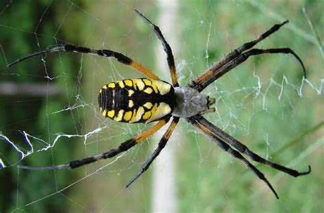 top  poisonous spiders