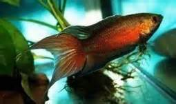 Freshwater fish & shrimp 'highlights' to look out for in our stores