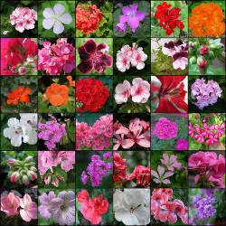 geranium colors geraniums flickr photo