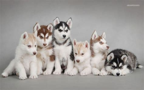 siberian husky puppies siberian husky wallpapers wallpaper cave
