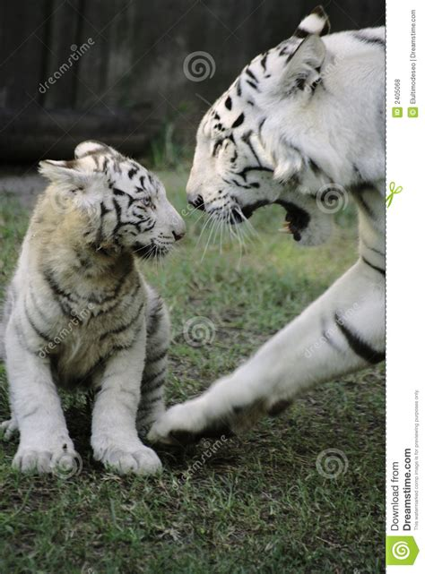 baby tiger with big tiger with images white tiger with baby royalty free stock photos image