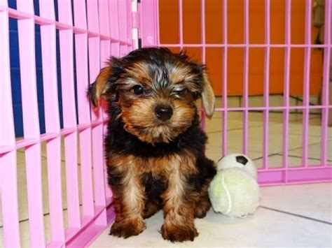 yorkies for sale in tn terrier yorkie puppies dogs for sale in tennessee tn