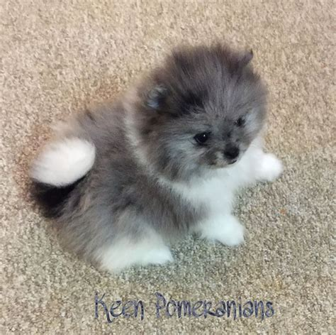 blue teacup pomeranian 17 best ideas about blue merle pomeranian on blue pomeranian pomeranian