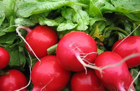 can dogs eat radishes can rabbits eat radishes and their leaves