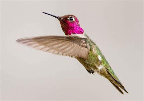 anna s hummingbird my back yard henderson nevada by