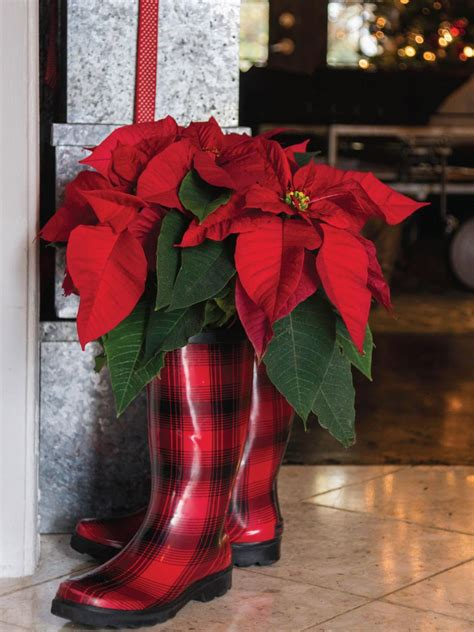 decorating with poinsettias decorating with poinsettias hgtv