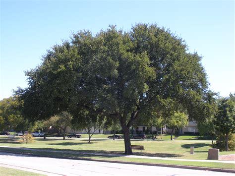 elm tree meaning elm tree meaning texas cedar elm 25 beautiful tree