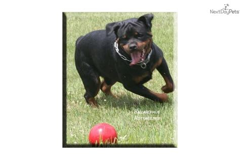 ballardhaus rottweilers puppies for sale from ballardhaus rottweilers member since december 2007