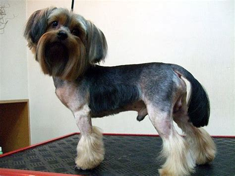 haircut for morkies explore yorkie haircuts pictures and select the best style
