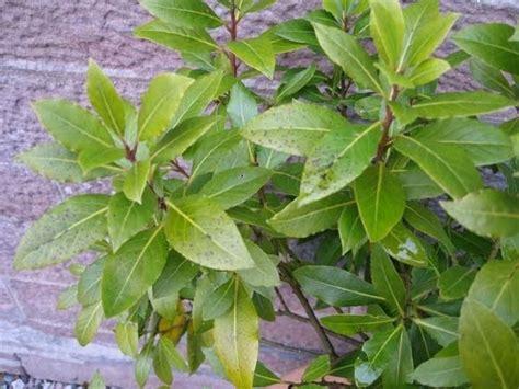 pianta di alloro in vaso pianta alloro piante da giardino caratteristiche della