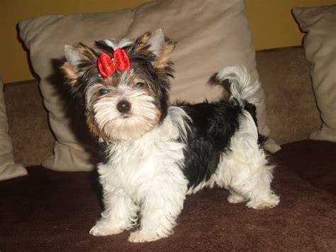 biewer yorkie for sale stunning biewer yorkie boy for sale leigh on sea essex pets4homes