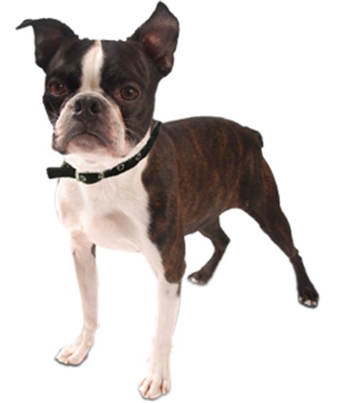 boston terrier puppies rescue boston terrier puppies dogs for adoption