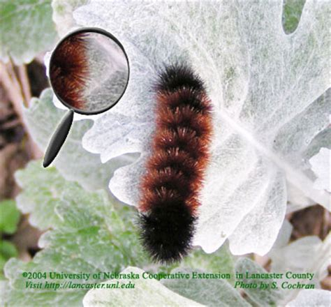 Caterpillar Low Midle Brown of nebraska cooperative extension in lancaster