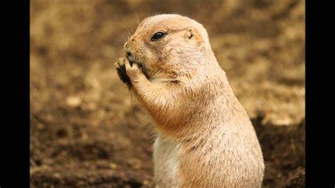 imagenes de animales llaneros el sonido del perro de la pradera sonidos cortos de