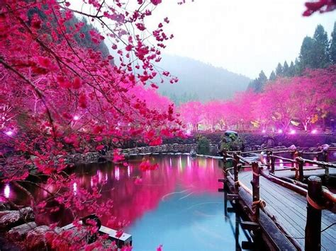 gambar bunga sakura  tepi danau bunga sakura