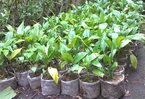jual tanaman sphathiphyllum bunga peace lily tanaman