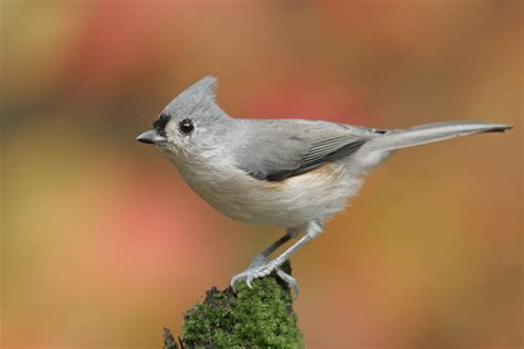the birds and the tufted titmouse audubon field guide