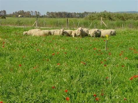 alimentazione pecore sardegna giornata dimostrativa sul pisello proteico e