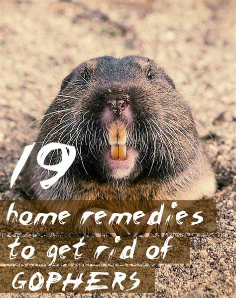 how to get rid of a gopher in my backyard 19 home remedies to get rid of gophers
