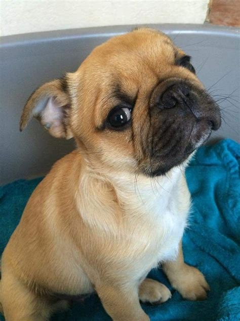 pug terrier pin boston terrier pug mix picture on