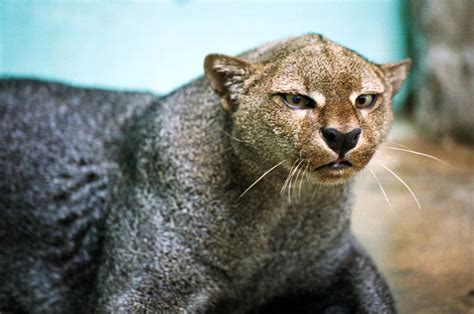 Animal J by Jaguarundi Wallpaper Animals Town