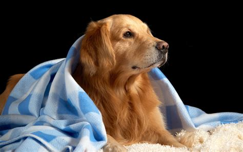 golden retriever wallpaper golden retriever wallpaper 4531 2560x1600 px hdwallsource