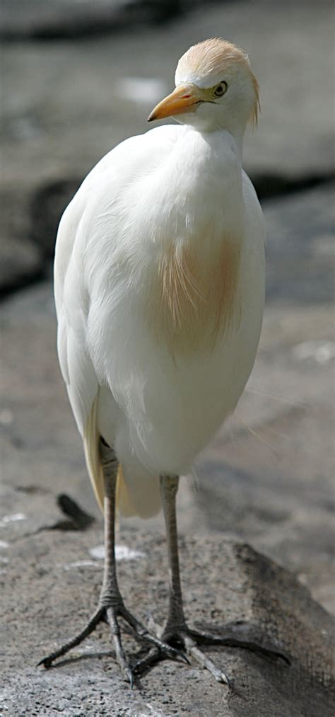 file cattle egret jpg wikipedia