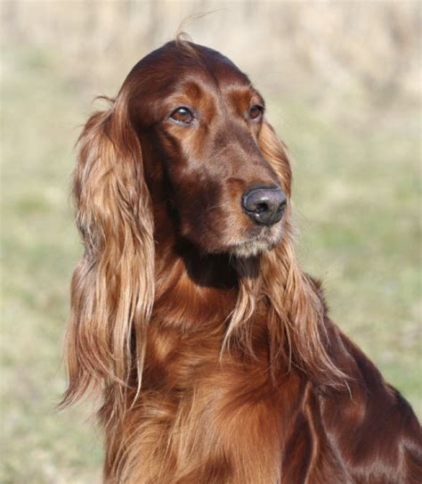irish setter girl dog names st patrick s day pet names and dog breeds revealed