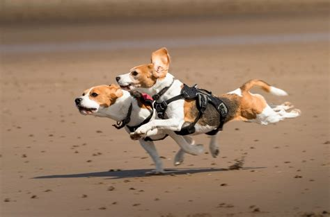 how fast can dogs run how fast can a beagle run many